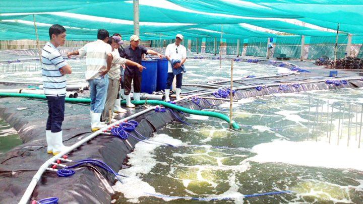 Bước phát triển lớn trong mô hình nuôi tôm kiểu mới tại tỉnh Bến Tre