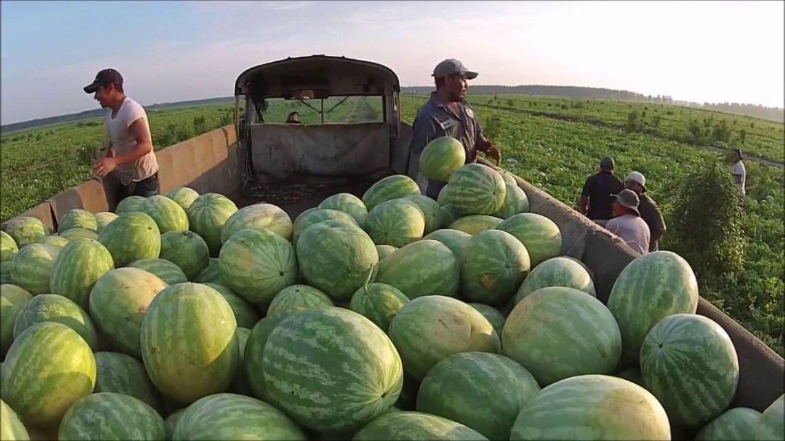 Người dân Quảng Ngãi trúng vụ mùa dưa hấu lớn, được giá nhất từ trước tới nay