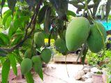 Nông dân trồng xoài Đồng Tháp lao đao vì giá xoài cuối vụ giảm