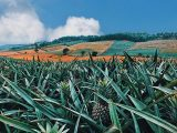 Tin vui người nông dân: Vào vụ thu hoạch giá dứa tăng cao
